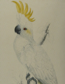 Edward Lear, bird prints
