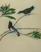 John Lewin Birds of New South Wales